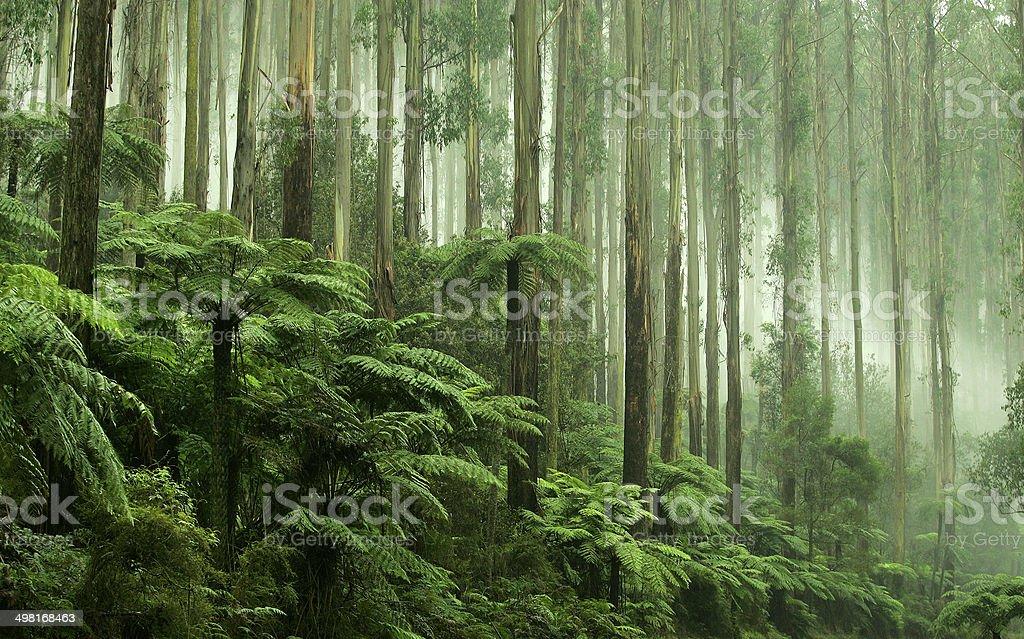 Tree Ferns in Black Spur Drive, Healesville, Victoria stock photo