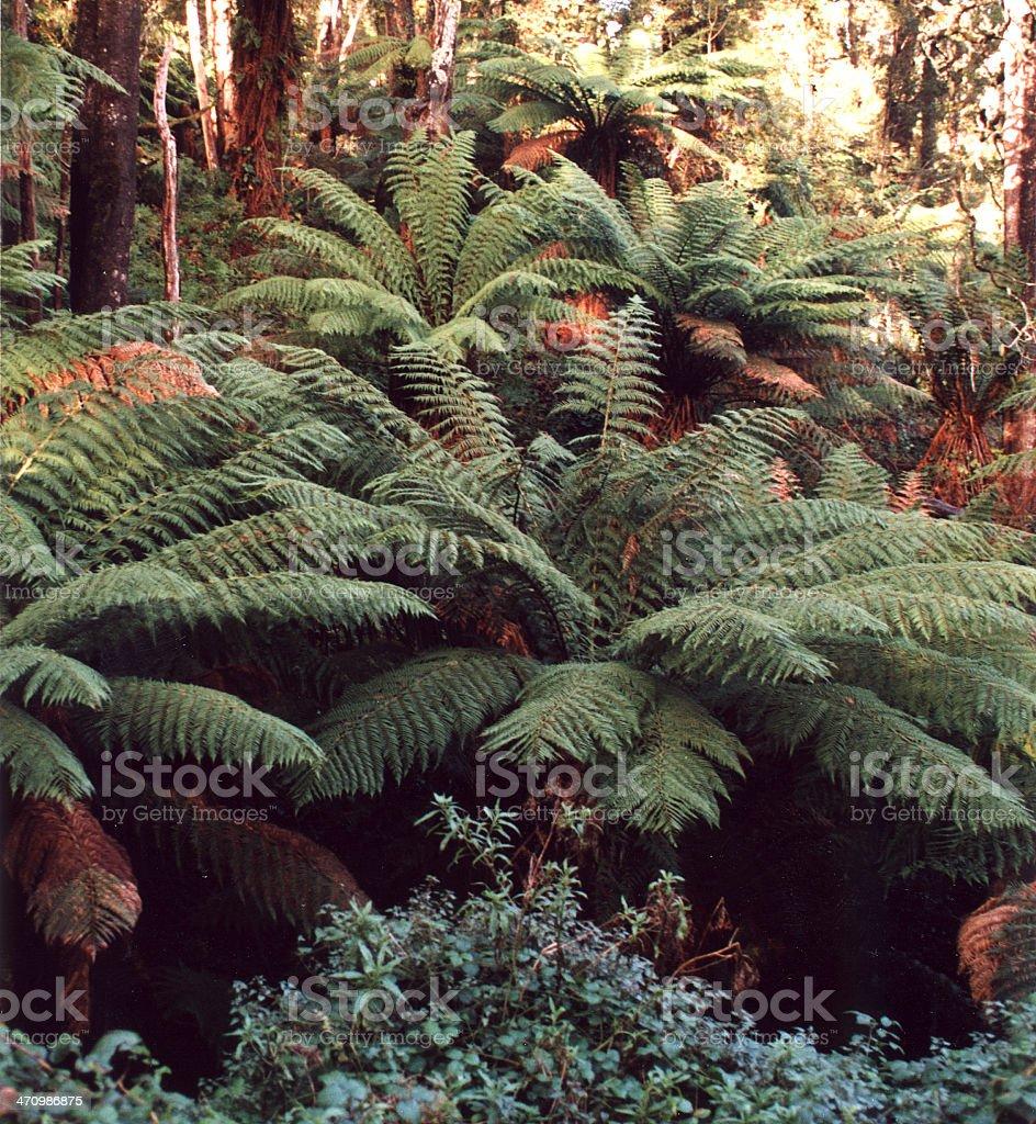 Árbol ferns foto de stock libre de derechos