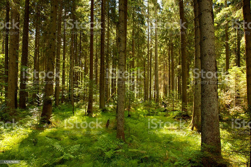 Tree filled forest with sunlight shining through stock photo
