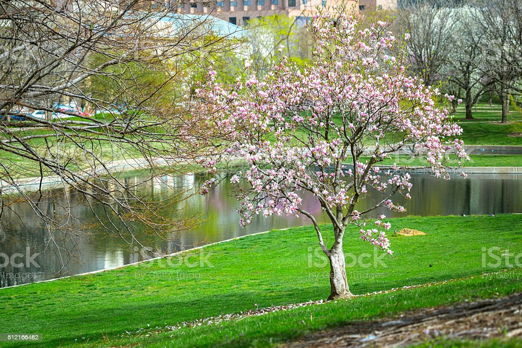 Tree Flowering in a City Park stock photo