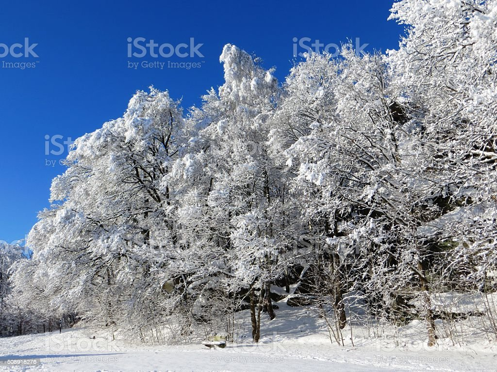 Tree Forest Covered by Snow in Winter Landscape stock photo