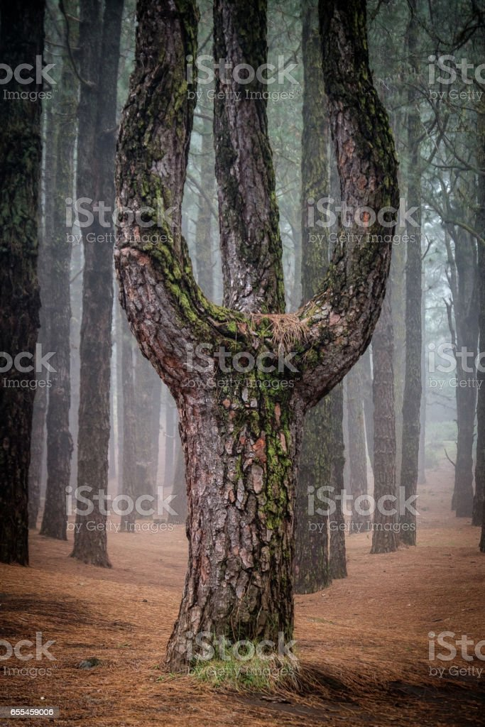Tree Fork of Canary Island Pines in a forest at Ruta de los Volcanes, Cumbre Vieja, La Palma, Spain. stock photo