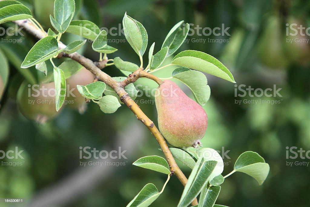 Tree fresh pear royalty-free stock photo