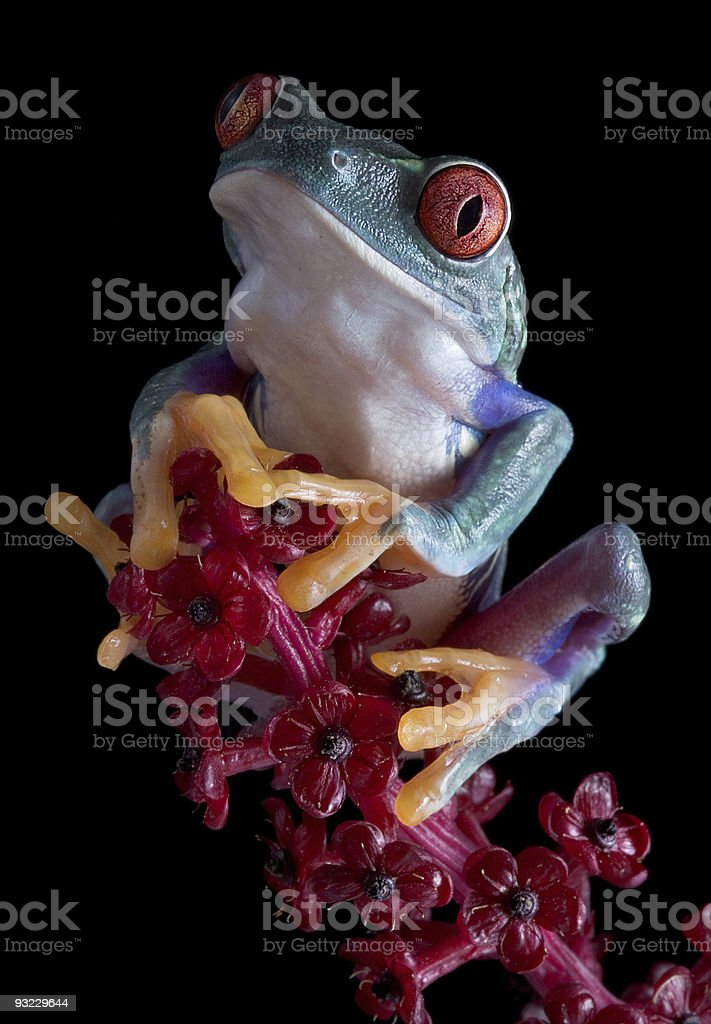 Tree frog after dark royalty-free stock photo