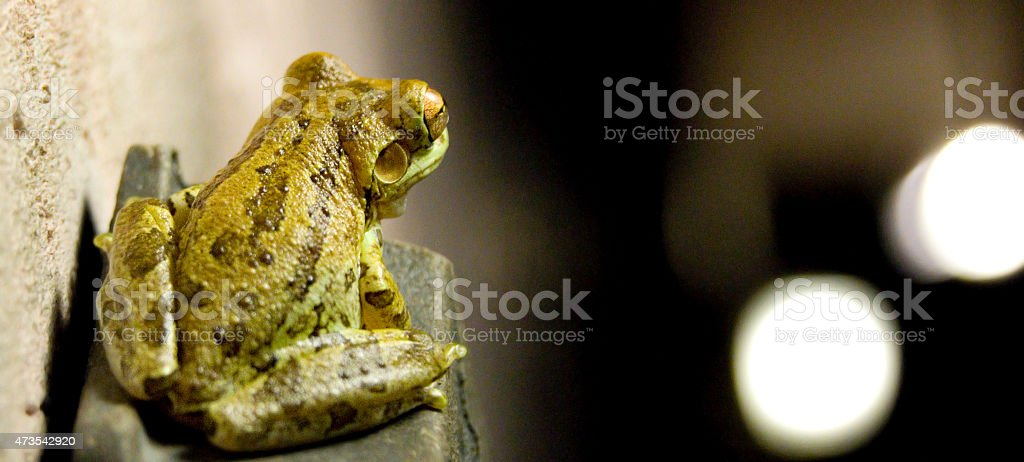 Tree frog at night stock photo