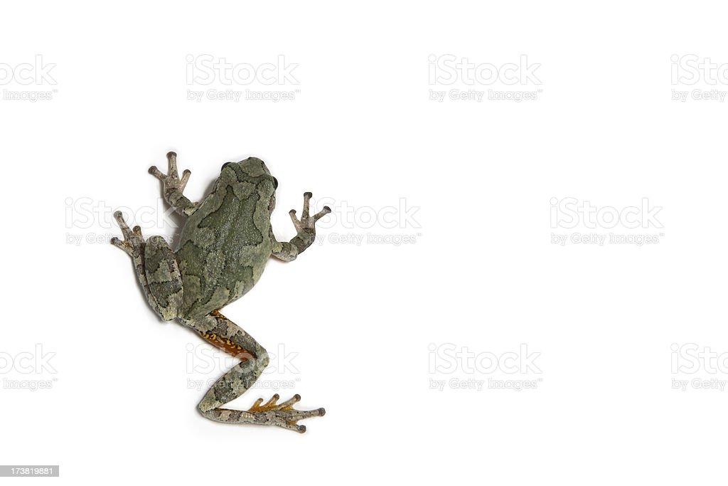 Tree Frog Climb stock photo