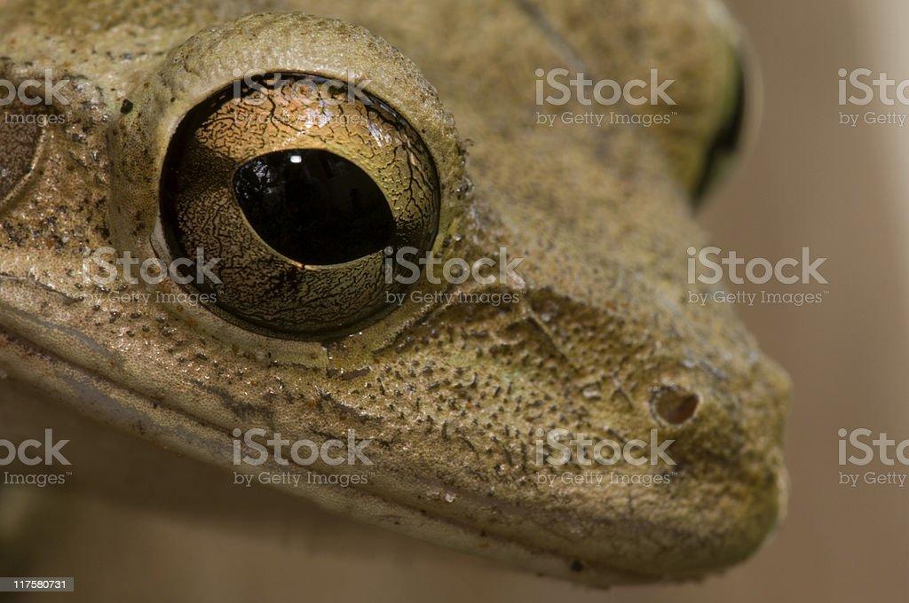 Tree Frog Close-Up stock photo