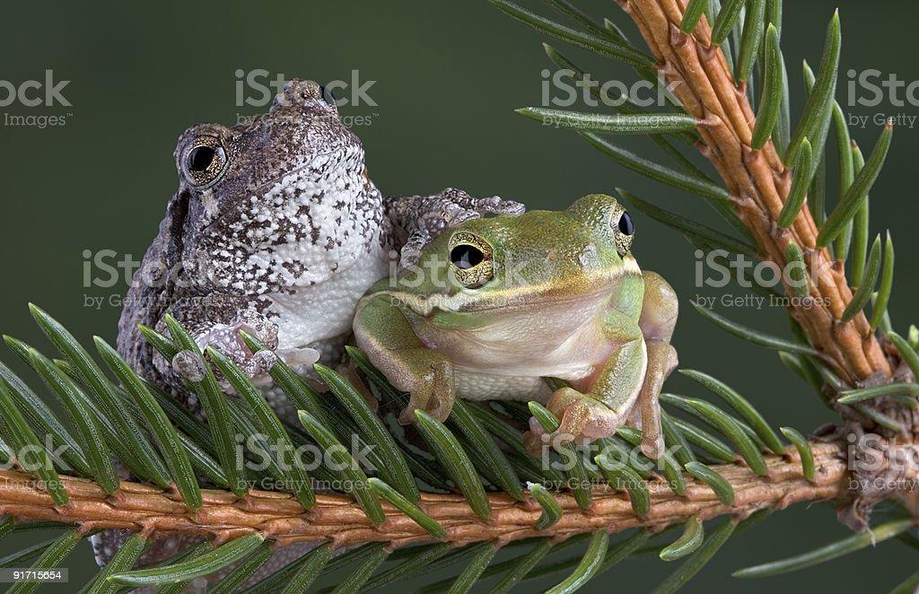 Tree frog friends stock photo