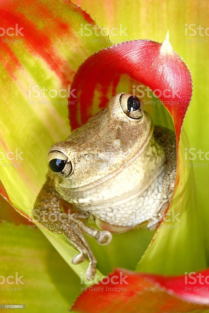 Tree Frog Hiding in the Bromeliad stock photo