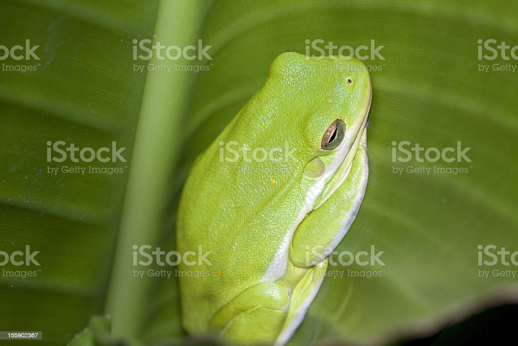 Tree Frog on a Green Leaf royalty-free stock photo