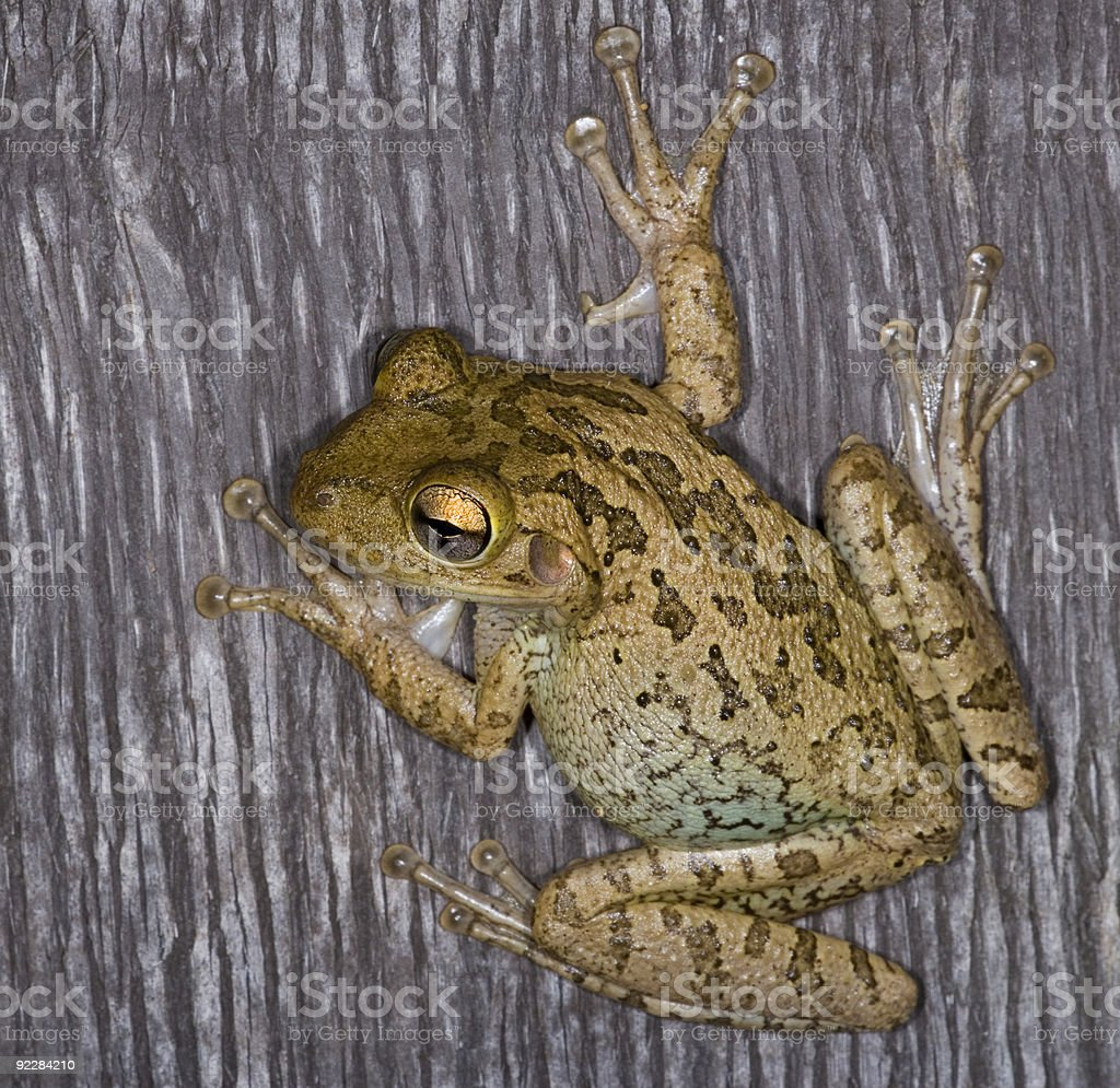 Tree Frog on a Palm Trunk. stock photo