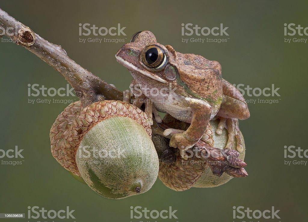 Tree Frog on Acorns stock photo