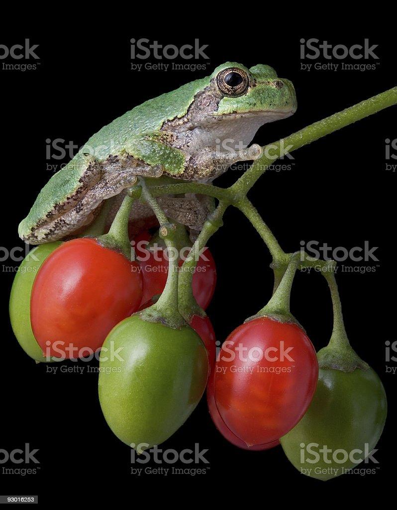 Tree frog on berries stock photo