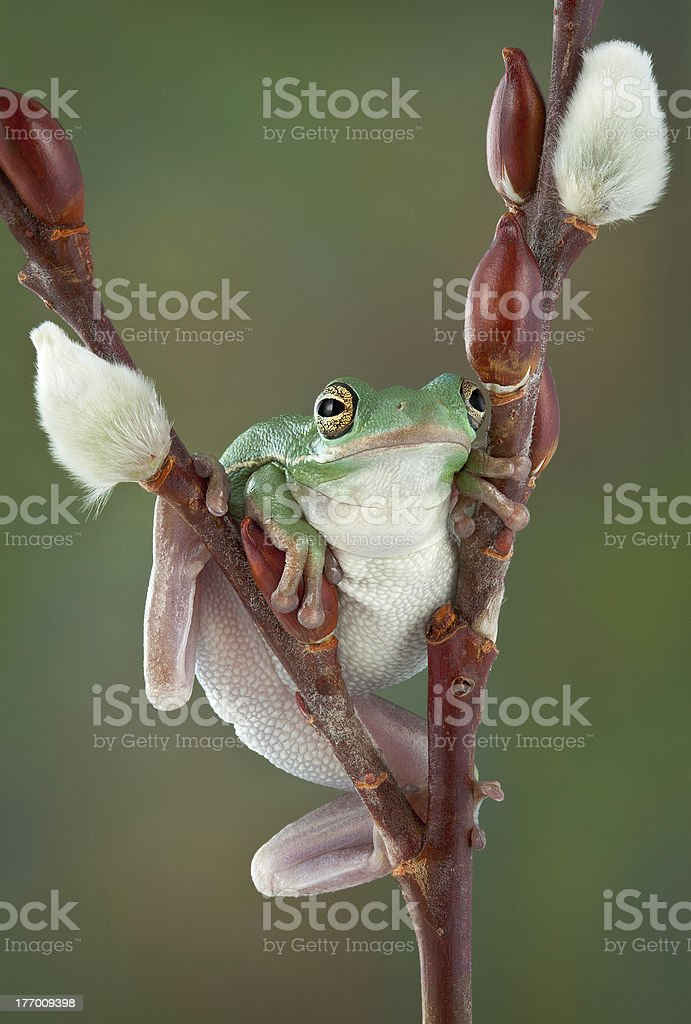 Tree frog on Pussy Willow stock photo