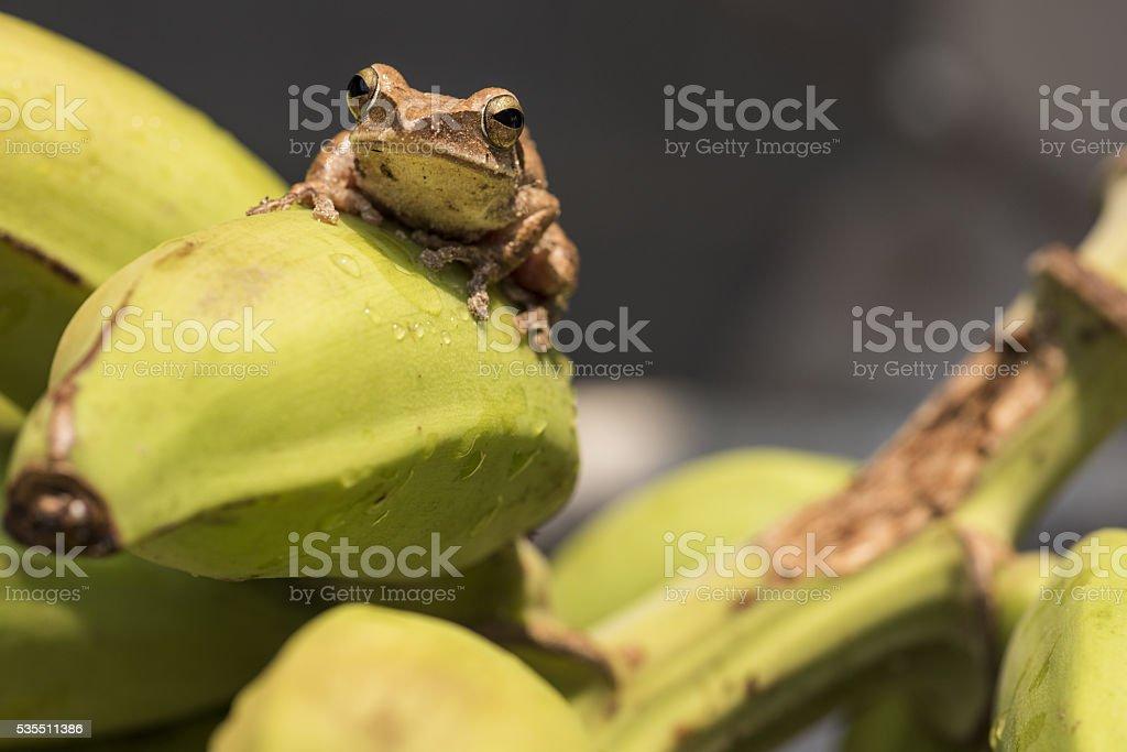 Tree frog on wild banana plant in Asia stock photo