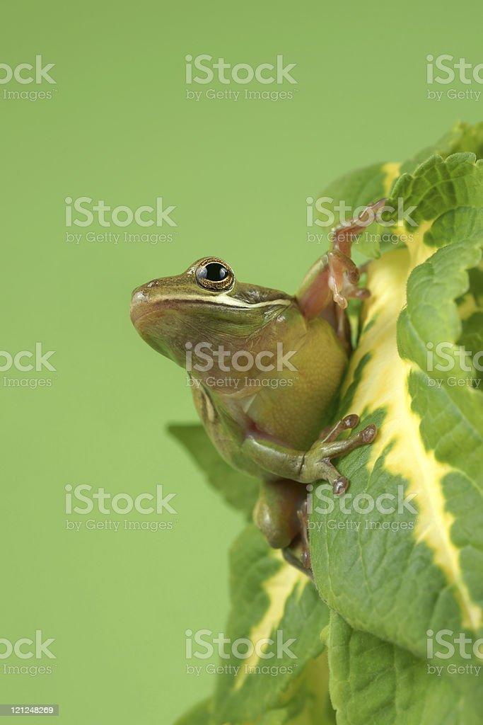 Tree frog (Litoria infrafrenata) stock photo