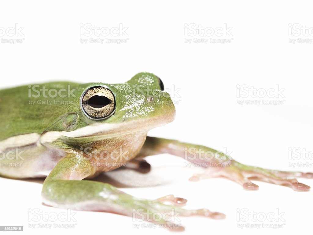 Tree Frog royalty-free stock photo