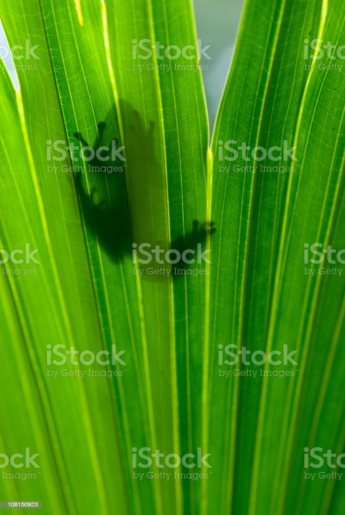 Tree Frog Silhouetted Through leaf royalty-free stock photo