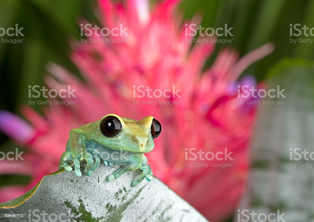 Tree Frog with Bromeliad bloom stock photo