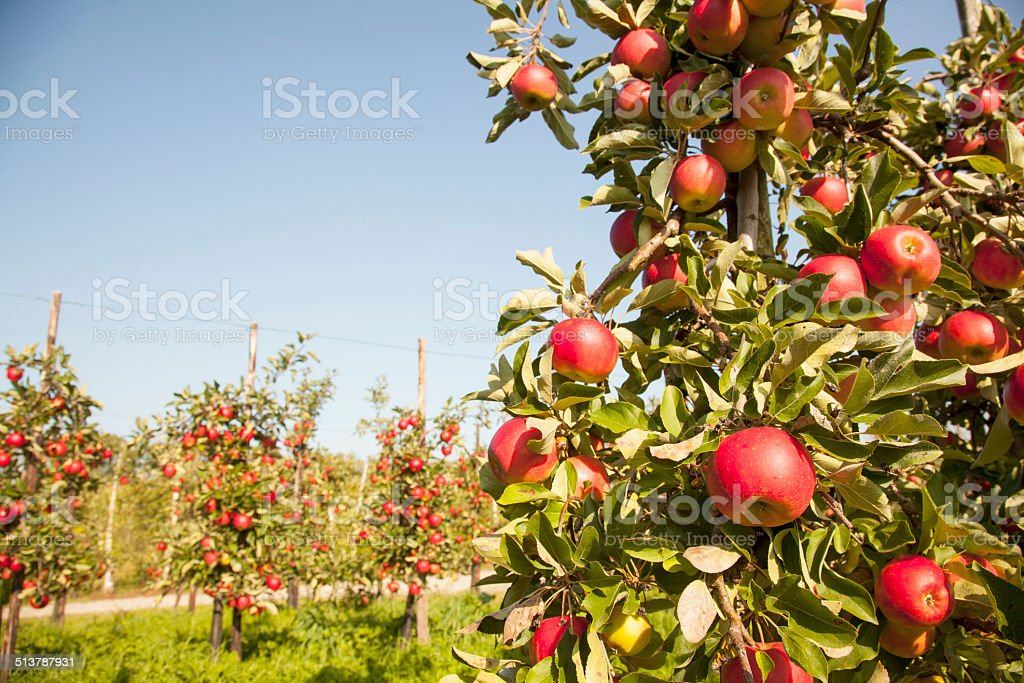 tree full of apples with other trees in the background stock photo
