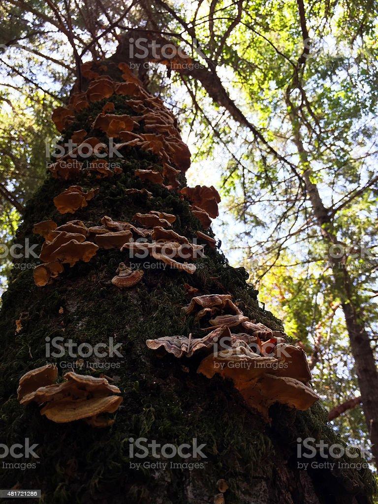 Tree Fungus, Napa Valley stock photo