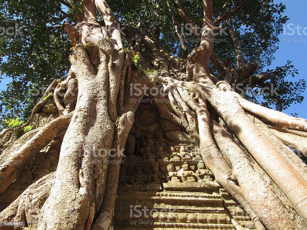 Tree Growing Over Wall, Angkor Wat, Cambodia - Close Up stock photo