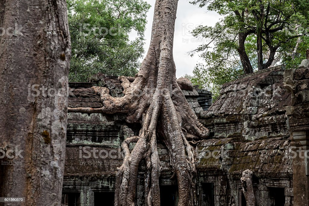 Tree growing through Temple in Cambodia stock photo