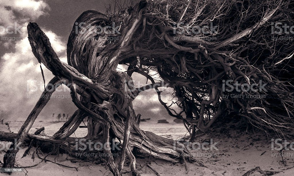 Tree Growing Twisted on Beach, Sepia Toned stock photo