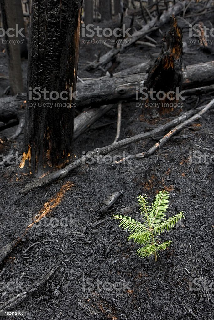 Tree Grows After Forest Fire royalty-free stock photo
