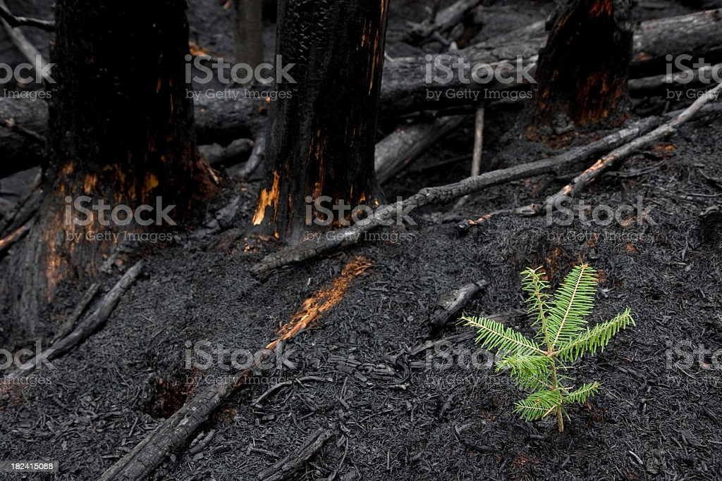 Tree Grows After Forest Fire stock photo