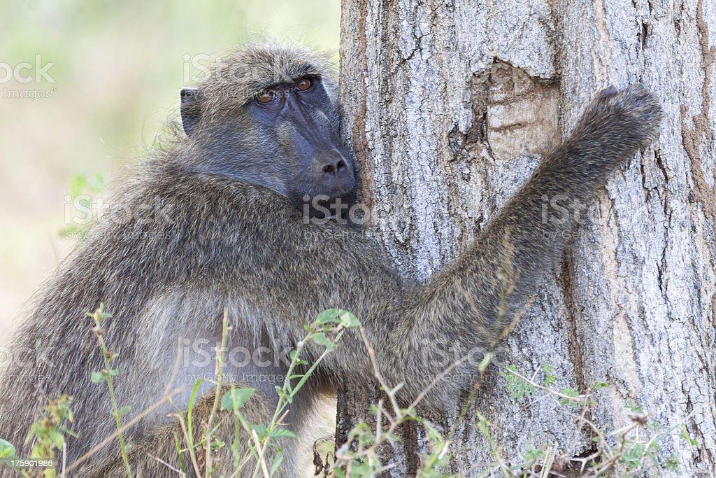 Tree hugging baboon stock photo