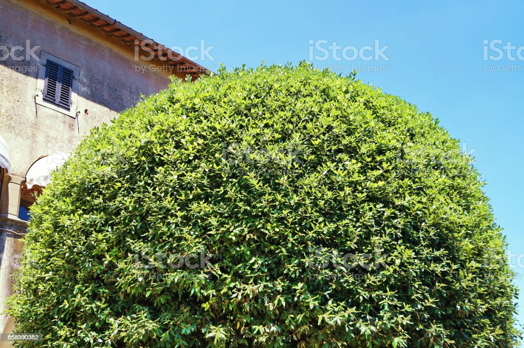 Tree in a garden of Fiesole, Tuscany stock photo