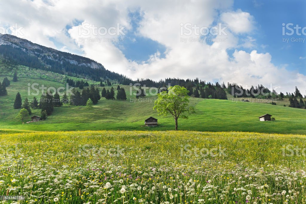 tree in a meadow with dandelions in Alps stock photo
