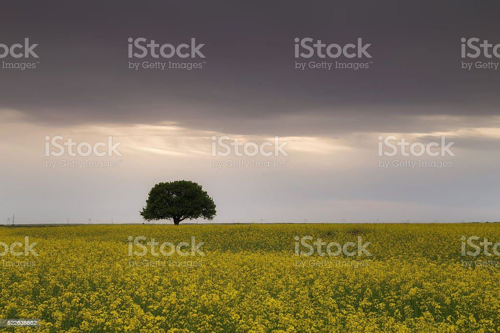 Tree in a rape field at sunset stock photo