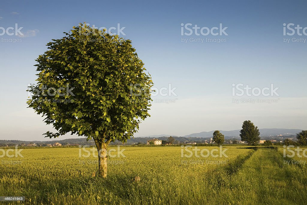 Tree in a wheat field royalty-free stock photo