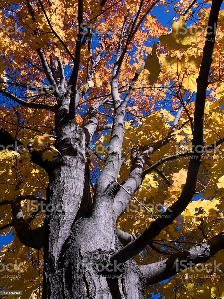 tree in autumn royalty-free stock photo