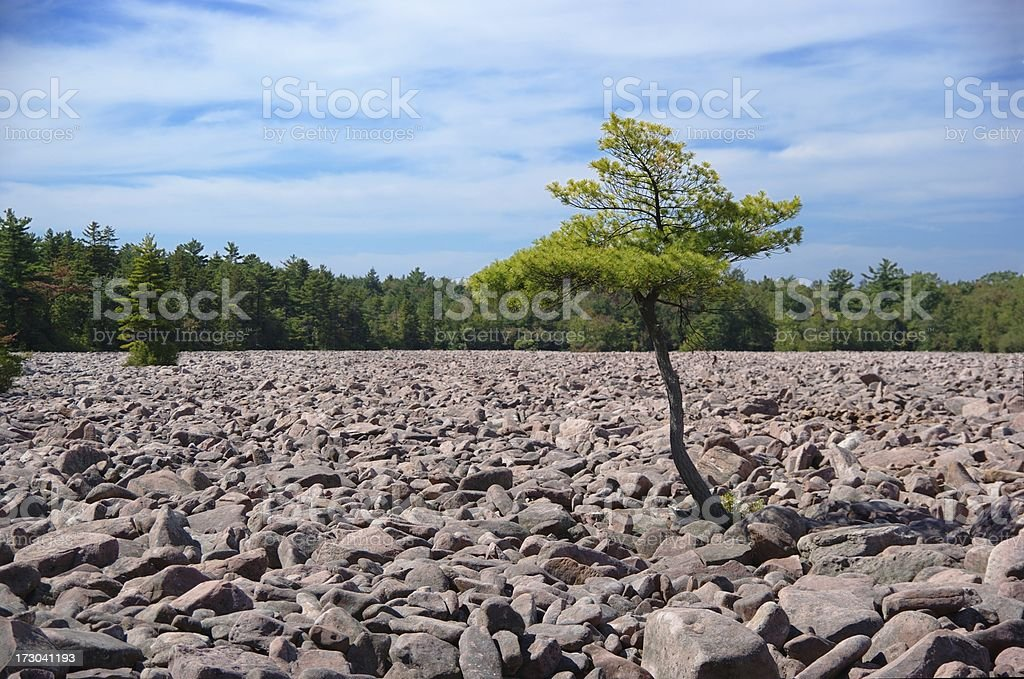 Tree in Boulder Field royalty-free stock photo