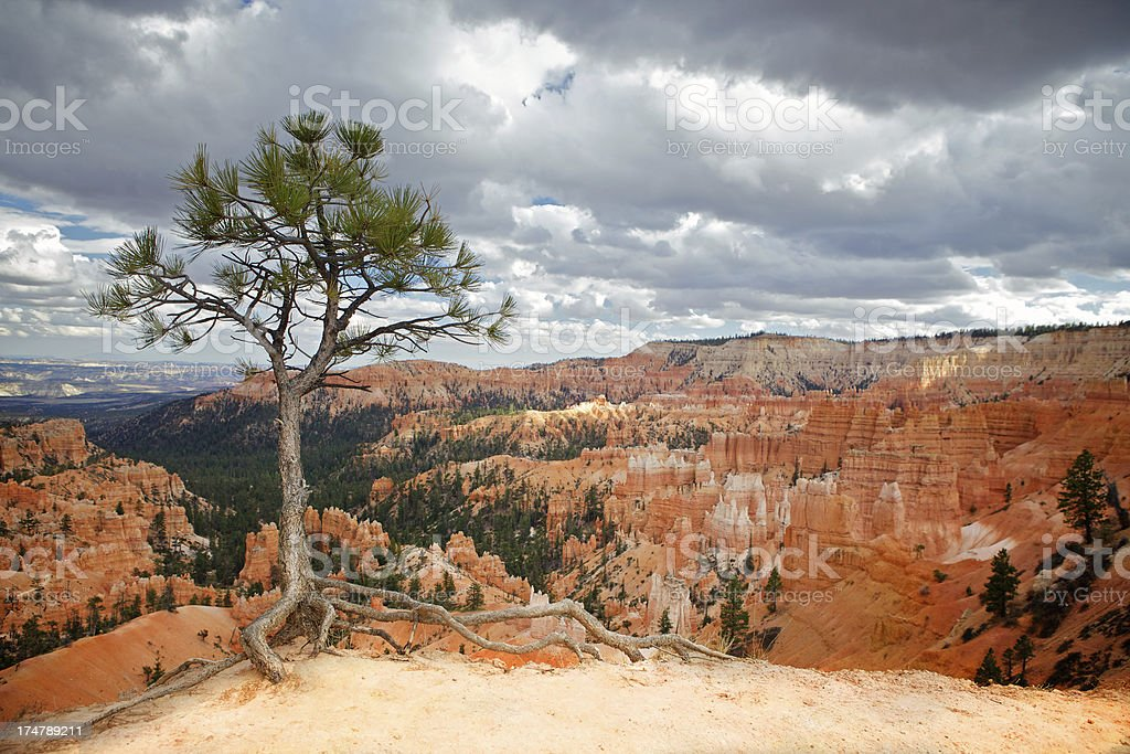Tree in Bryce canyon stock photo