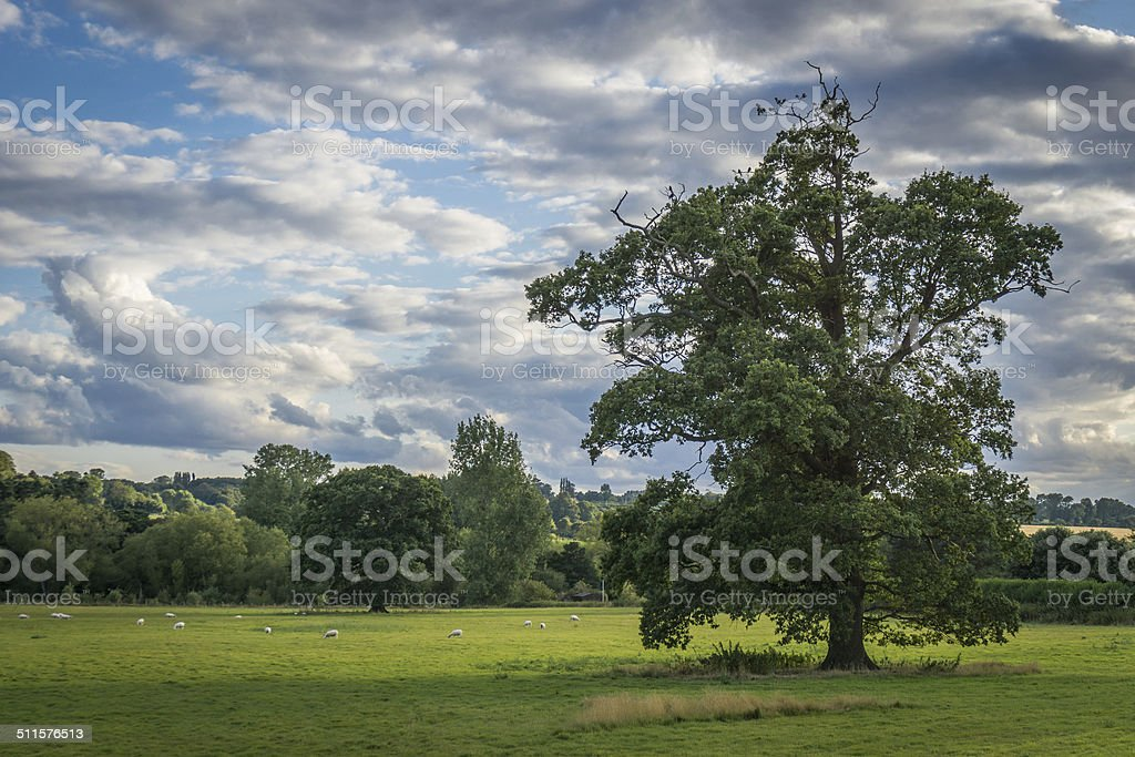 Tree in field with Sheep stock photo