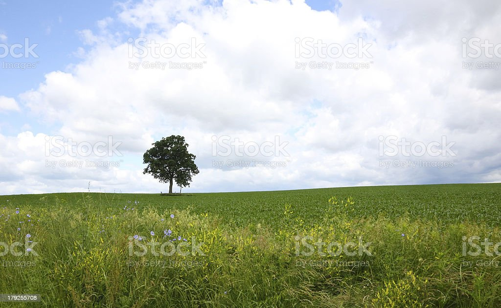 Tree in field with wildflowers and sky royalty-free stock photo