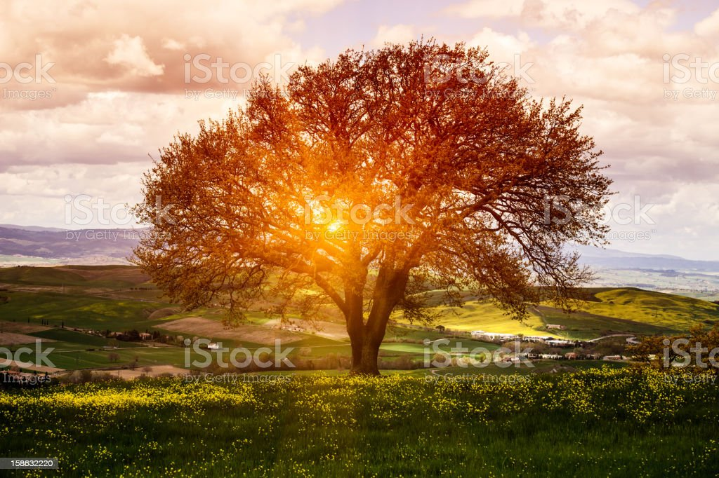 Tree in Flower Field, Spring Sunrise stock photo