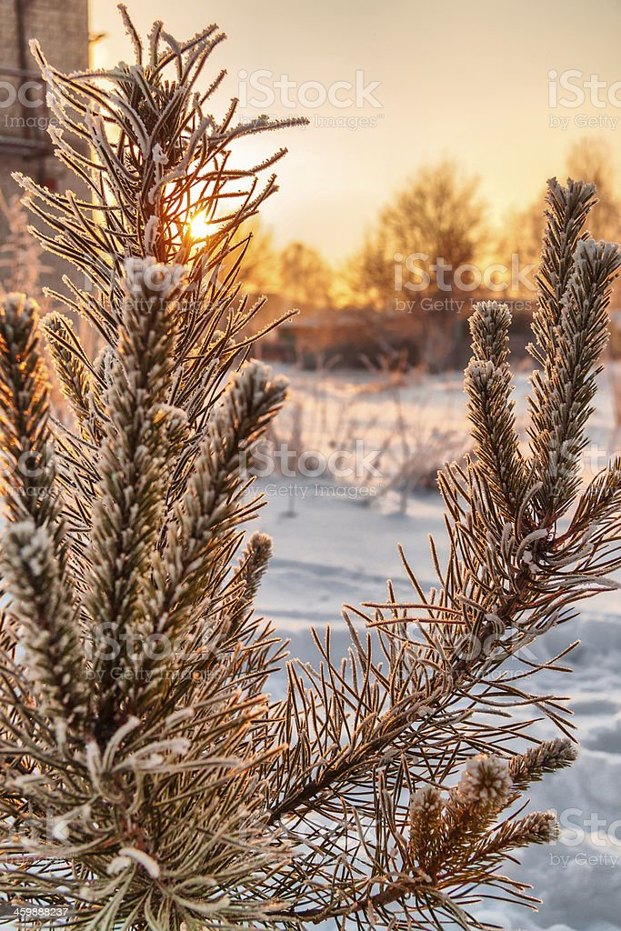 Tree in frost royalty-free stock photo