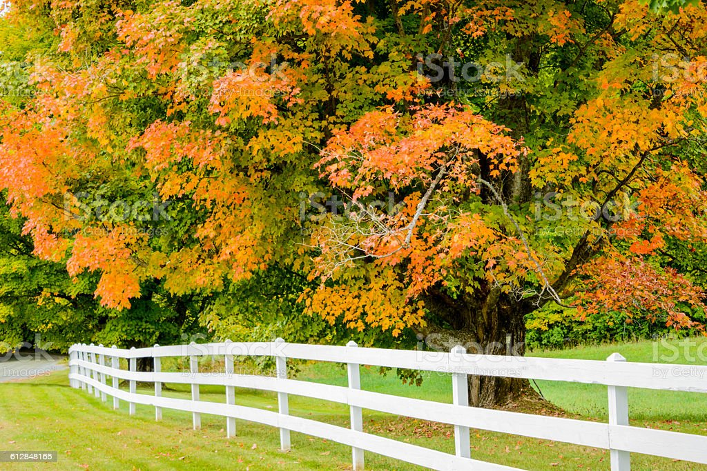 Tree in its early autumn colors along a white fence stock photo