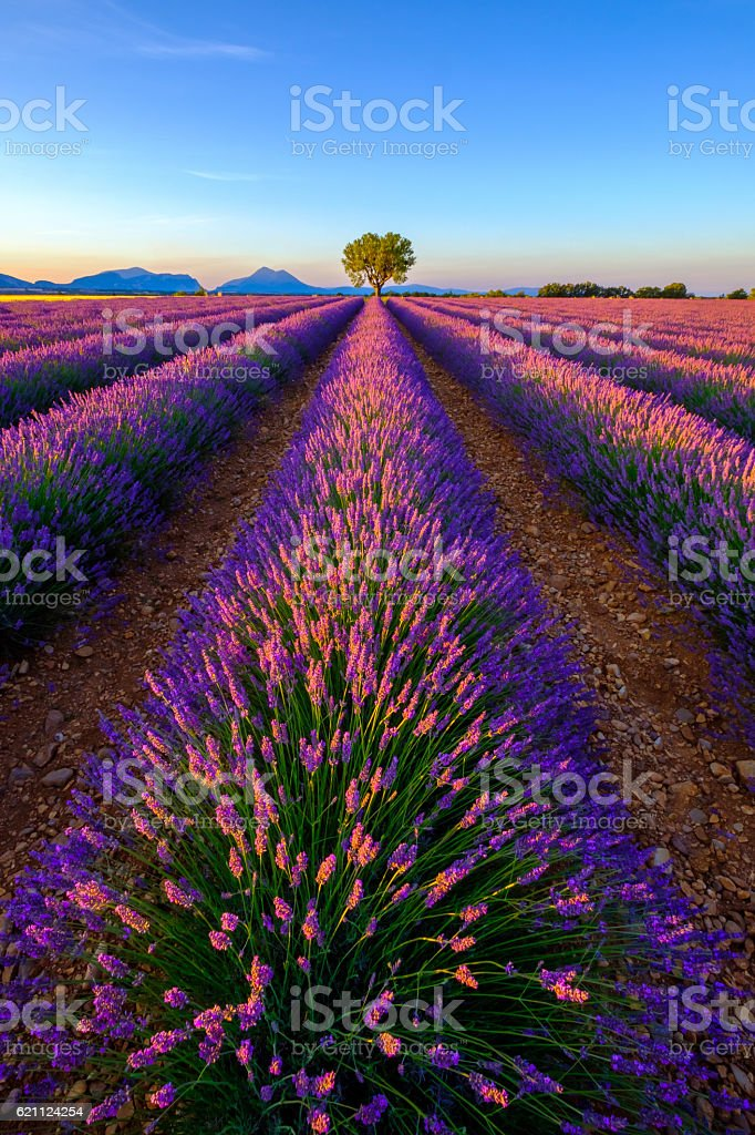 Tree in lavender field at sunset stock photo
