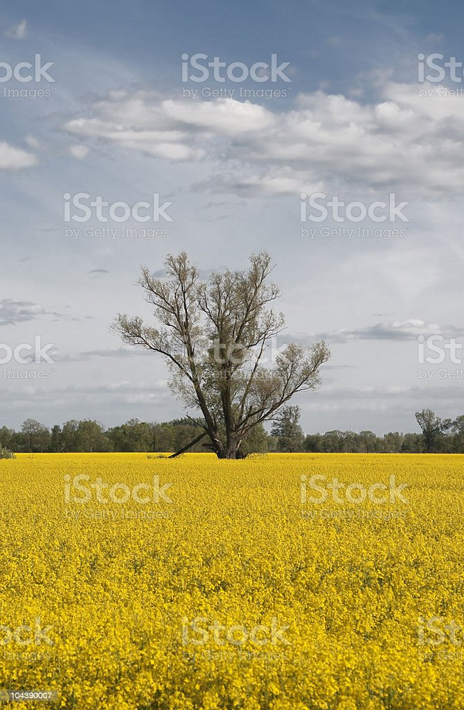 Tree in middle of a raps field stock photo