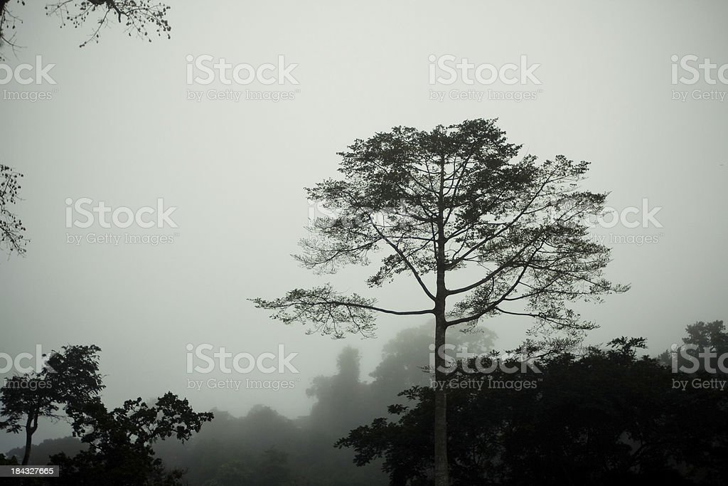 Tree in Morning Mist stock photo