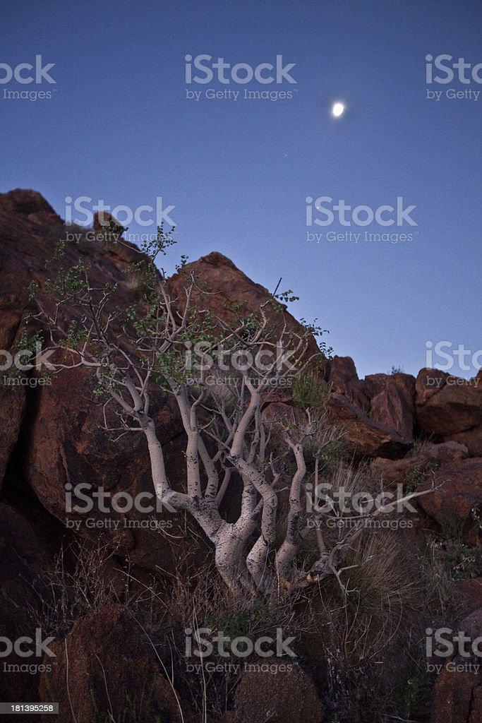 Tree in Namib Desert royalty-free stock photo