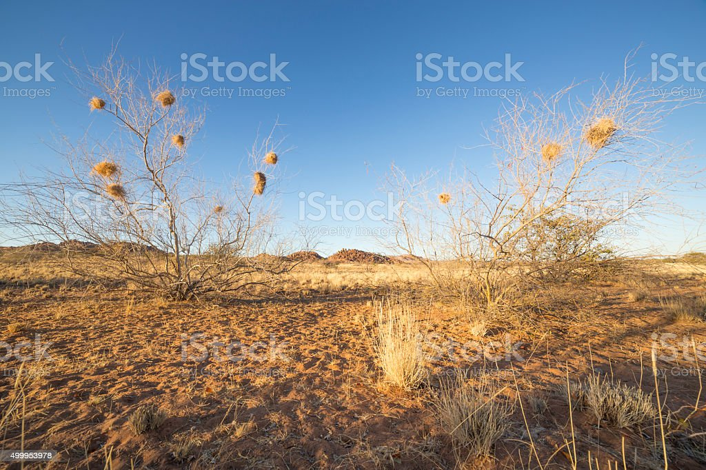 Tree in Namibia with the nests of the sociable weaver stock photo