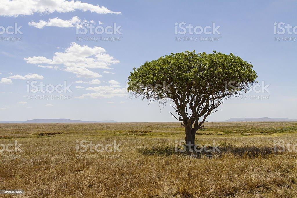 Tree in Serengeti stock photo