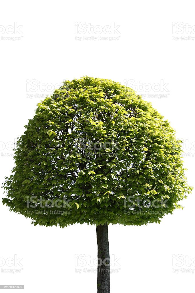 Tree in spring, isolated on pure white stock photo